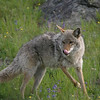 Yellowstone Coyote on the prowl! This gallery is a collection of some of my favorite shots.......as you will see my interests are all over the place ! Your comments are welcome.