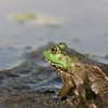 Bull Frog This gallery is a collection of some of my favorite shots.......as you will see my interests are all over the place ! Your comments are welcome.